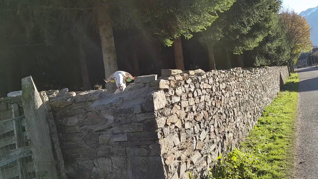Jordi Casas saludant a una cabra a Les